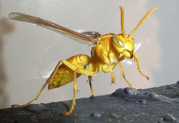 https://commons.wikimedia.org/wiki/File:Wasp_Punjab-India.JPG